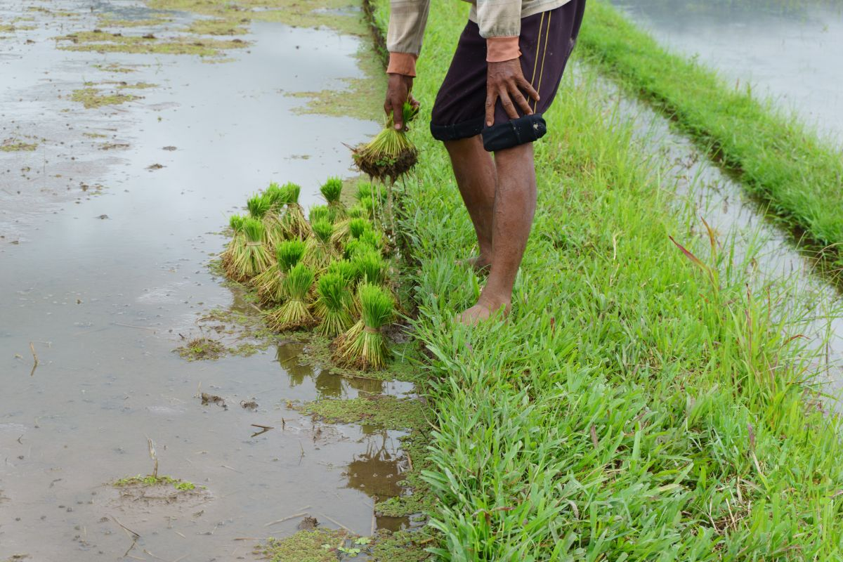 Kharif crop sowing crosses 165.21 lakh hectare area