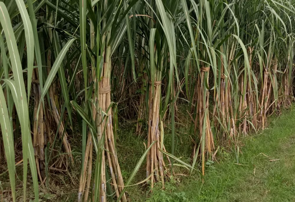 Sugar production slightly higher by December 15, 2018