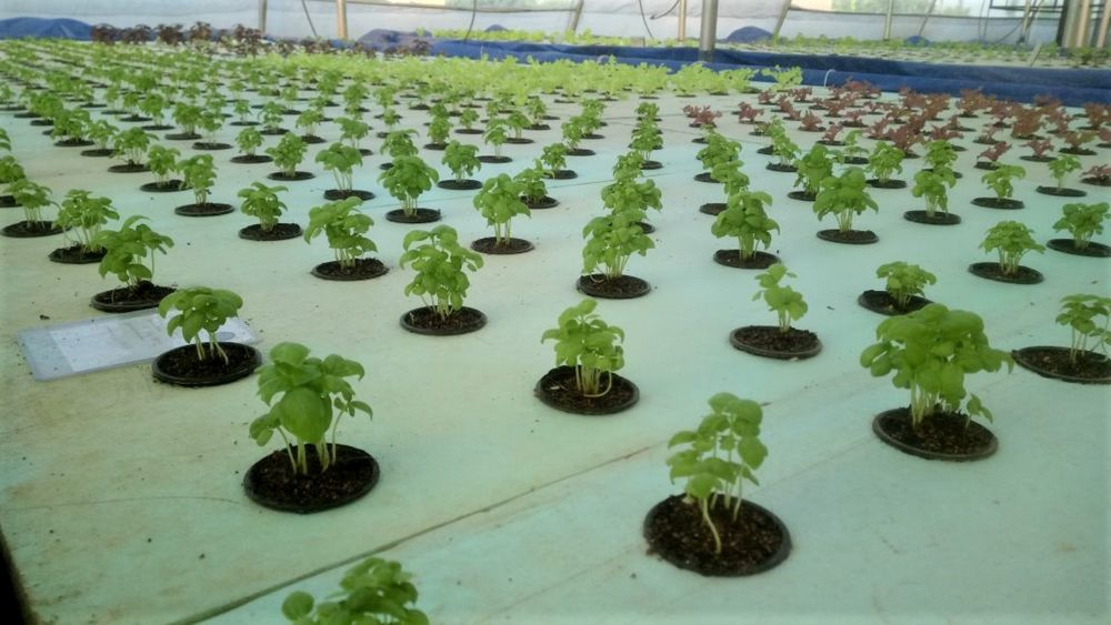 Sustainable farming through commercial aquaponics
