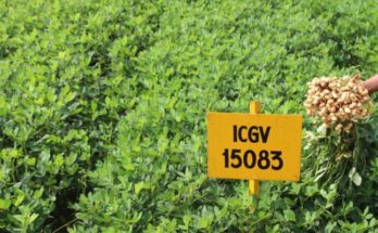 India's first 'high oleic' groundnut varieties ready to go commercial