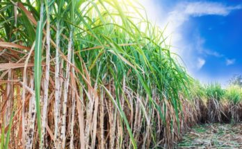 How would be India's sugar production in 2019-20 SS
